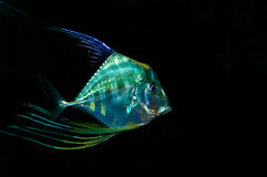 Tropical fish. Fish living in lakes and oceans, there are quite a number of species Stock Image