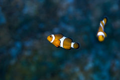 Tropical fish. Fish living in lakes and oceans, there are quite a number of species Royalty Free Stock Photo