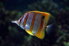 Tropical fish №13 Royalty Free Stock Images