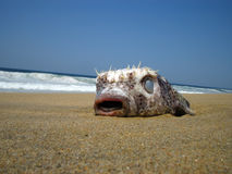 Tropical Fish. This is a dead Blowfish which I found on the beach of Acapulco Mexico Royalty Free Stock Photo