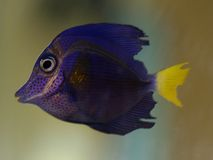 Tropical fish. Beautifull salt water tropical fish Royalty Free Stock Image