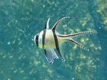 Tropical Fish. Yellow & Black tropical fish Stock Photo