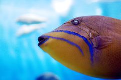 Tropical fish. Yellow, tropical fish in bright clear blue water Stock Photo