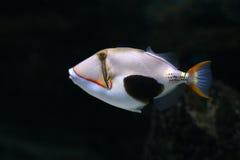 Tropical fish №16 Royalty Free Stock Photo