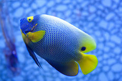 Tropical Fish. Bright blue and yellow tropical fish on a blue background stock photography