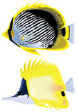 Tropical fish. Tropical fish Forcipiger flavissimus and Chaetodon (Rabdophorus) melannotus Stock Photo