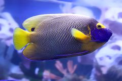 Tropical fish. It is very colourful photo of exotic fish Stock Photos
