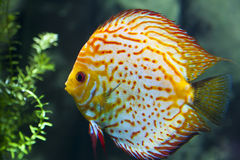 Tropical Fish. A colorful tropical fish swimming in the water Royalty Free Stock Photography