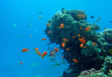 Tropical fish. Of the Red Sea coral reef Stock Photography