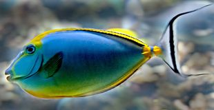 Tropical fish 21 Stock Image