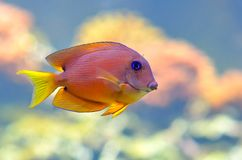 Tropical fish. Underwater image of tropical fishes Stock Image