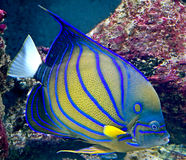 Tropical fish 24 Stock Image
