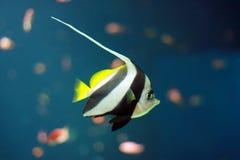 Tropical fish. Greater fish in an aquarium Royalty Free Stock Photo