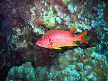Tropical fish. Big red tropical fish in deep close-up. Red sea stock photos