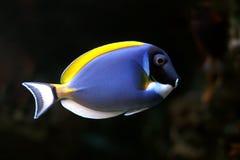Tropical fish №27 Royalty Free Stock Image