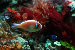 Tropical fish. Small color fish on a background of corals Stock Photo