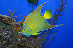 Tropical Fish. Closeup of a queen angelfish stock photo