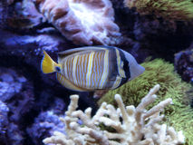 Tropical Fish. Swimming through a coral reef Stock Photos