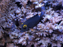 Tropical Fish. Swimming through a coral reef Royalty Free Stock Photography