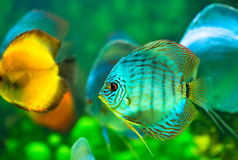 Tropical fish. Tropical discus  fish on a green background Royalty Free Stock Images