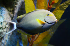 Tropical fish. Colorful tropical fish in aquarium stock images