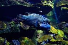Free Tropical Fish. Royalty Free Stock Photography - 31187537