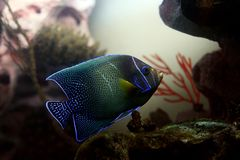 Tropical fish №32 Royalty Free Stock Image
