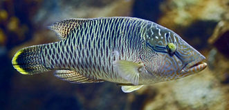Tropical fish 33 Stock Photos