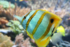 Tropical fish. Swimming in an aquarium Royalty Free Stock Photography