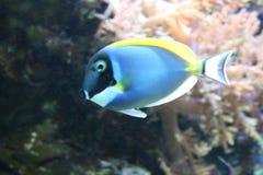 Tropical fish. Swimming in an aquarium Stock Photo