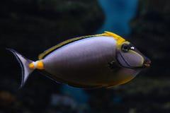 Tropical  fish №39 Royalty Free Stock Photo