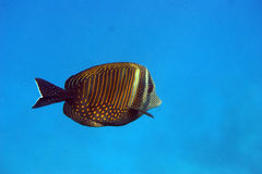 TROPICAL FISH. Colorful tropical fish close up Stock Photo