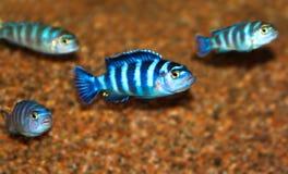 Tropical fish Royalty Free Stock Image