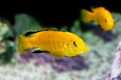 Tropical fish Royalty Free Stock Photo