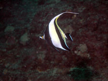 Tropical fish. In marine environment royalty free stock images