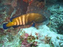 Tropical fish. A big blue and yellow tropical fish underwater at Andaman Beach, Thailand stock image