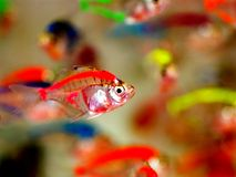 Tropical fish. Ornamental troical fish,transparent like crystal, colorful and beautiful Royalty Free Stock Image
