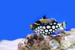 Tropical fish. Photograph of underwater tropical fishes Stock Photography