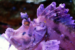 Tropical fish. A purple rockfish in the aquarium royalty free stock photography