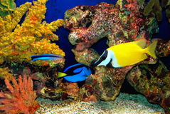 Tropical fish Stock Images