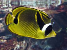 Tropical fish. Yellow & black tropical fish Royalty Free Stock Photography