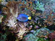 Tropical fish. Swimming by a coral reef stock photography