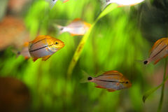 Free Tropical Fish Royalty Free Stock Photography - 56290517