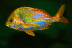 Free Tropical Fish Stock Photography - 56290582