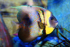 Free Tropical Fish Royalty Free Stock Photo - 56290645