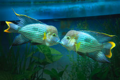 Tropical fish. Es  in an aquarium whit water  on background kiss each other Royalty Free Stock Photos