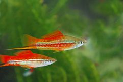 Tropical fish. Es  in an aquarium whit water  on background Royalty Free Stock Photography