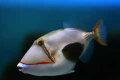 Tropical fish №6 Royalty Free Stock Image