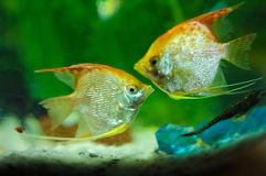 Tropical fish. In an aquarium whit water  on background Stock Photos