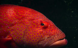 Tropical fish. Close up of orange tropical fish with pink spots in an aquarium Stock Image